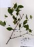 (Staphylea - PDBK2008-1535)  @11 [ ] Copyright (2008) Ki Joong Kim Korea University Herbarium (KUS)