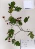( - PDBK2008-1541)  @11 [ ] Copyright (2008) Ki Joong Kim Korea University Herbarium (KUS)