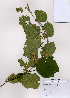 (Corylus heterophylla - PDBK2008-1547)  @11 [ ] Copyright (2008) Ki Joong Kim Korea University Herbarium (KUS)