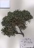 ( - PDBK2009-0044)  @13 [ ] Copyright (2009) Ki Joong Kim Korea University Herbarium (KUS)