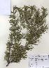 (Cedrus - PDBK2009-0075)  @13 [ ] Copyright (2009) Ki Joong Kim Korea University Herbarium (KUS)