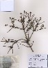 (Picea jezoensis - PDBK2009-0081)  @12 [ ] Copyright (2009) Ki Joong Kim Korea University Herbarium (KUS)
