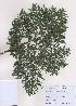 (Chamaecyparis - PDBK2009-0107)  @11 [ ] Copyright (2009) Ki Joong Kim Korea University Herbarium (KUS)