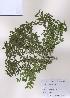 (Buxus - PDBK2009-0111)  @11 [ ] Copyright (2009) Ki Joong Kim Korea University Herbarium (KUS)