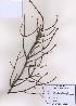 (Picea koraiensis - PDBK2009-0137)  @12 [ ] Copyright (2009) Ki Joong Kim Korea University Herbarium (KUS)