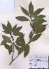 (Neolitsea - PDBK2009-0146)  @11 [ ] Copyright (2009) Ki Joong Kim Korea University Herbarium (KUS)