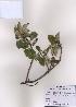 (Elaeagnus macrophylla - PDBK2009-0201)  @11 [ ] Copyright (2009) Ki Joong Kim Korea University Herbarium (KUS)