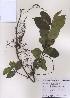 (Trachelospermum - PDBK2009-0278)  @11 [ ] Copyright (2009) Ki Joong Kim Korea University Herbarium (KUS)
