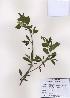 (Exochorda - PDBK2009-0384)  @11 [ ] Copyright (2009) Ki Joong Kim Korea University Herbarium (KUS)