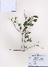 (Spiraea prunifolia - PDBK2009-0404)  @11 [ ] Copyright (2009) Ki Joong Kim Korea University Herbarium (KUS)