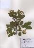 (Spiraea blumei - PDBK2009-0539)  @11 [ ] Copyright (2009) Ki Joong Kim Korea University Herbarium (KUS)