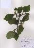 (Broussonetia - PDBK2009-0544)  @11 [ ] Copyright (2009) Ki Joong Kim Korea University Herbarium (KUS)