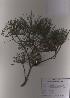 ( - PDBK2009-0560)  @11 [ ] Copyright (2009) Ki Joong Kim Korea University Herbarium (KUS)