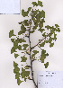 (Ginkgoaceae - PDBK2009-0607)  @11 [ ] Copyright (2009) Ki Joong Kim Korea University Herbarium (KUS)