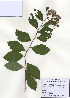 (Spiraea fritschiana - PDBK2009-0699)  @11 [ ] Copyright (2009) Ki Joong Kim Korea University Herbarium (KUS)