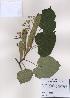 (Tilia miqueliana - PDBK2009-0720)  @11 [ ] Copyright (2009) Ki Joong Kim Korea University Herbarium (KUS)