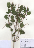 (Boehmeria - PDBK2009-1157)  @11 [ ] Copyright (2009) Ki Joong Kim Korea University Herbarium (KUS)
