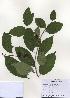 (Diospyros lotus - PDBK2009-1159)  @11 [ ] Copyright (2009) Ki Joong Kim Korea University Herbarium (KUS)