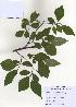 (Styracaceae - PDBK2009-1161)  @11 [ ] Copyright (2009) Ki Joong Kim Korea University Herbarium (KUS)