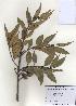 (Castanopsis - PDBK2009-1212)  @11 [ ] Copyright (2009) Ki Joong Kim Korea University Herbarium (KUS)