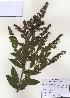 (Spiraea salicifolia - PDBK2009-1248)  @11 [ ] Copyright (2009) Ki Joong Kim Korea University Herbarium (KUS)