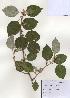(Elaeagnus glabra - PDBK2009-1267)  @11 [ ] Copyright (2009) Ki Joong Kim Korea University Herbarium (KUS)