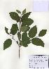 (Viburnum burejaeticum - PDBK2009-1284)  @11 [ ] Copyright (2009) Ki Joong Kim Korea University Herbarium (KUS)