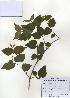 (Rhodotypos - PDBK2009-1286)  @11 [ ] Copyright (2009) Ki Joong Kim Korea University Herbarium (KUS)