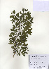 (Hemiptelea - PDBK2009-1293)  @11 [ ] Copyright (2009) Ki Joong Kim Korea University Herbarium (KUS)