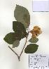 (Magnolia sieboldii - PDBK2009-1309)  @11 [ ] Copyright (2009) Ki Joong Kim Korea University Herbarium (KUS)