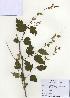 (Neillia - PDBK2009-1328)  @11 [ ] Copyright (2009) Ki Joong Kim Korea University Herbarium (KUS)