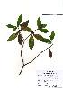 (Daphne - PDBK2010-0409)  @11 [ ] Copyright (2010) Ki Joong Kim Korea University Herbarium (KUS)