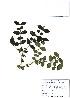(Damnacanthus - PDBK2010-0460)  @11 [ ] Copyright (2010) Ki Joong Kim Korea University Herbarium (KUS)
