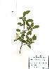 (Malus - PDBK2010-0531)  @11 [ ] Copyright (2010) Ki Joong Kim Korea University Herbarium (KUS)