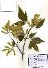 ( - PDBK2010-0705)  @11 [ ] Copyright (2010) Ki Joong Kim Korea University Herbarium (KUS)