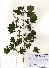 ( - PDBK2010-0710)  @11 [ ] Copyright (2010) Ki Joong Kim Korea University Herbarium (KUS)