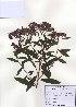 (Spiraea japonica - PDBK2010-0737)  @11 [ ] Copyright (2010) Ki Joong Kim Korea University Herbarium (KUS)