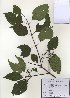 (Cornus walteri - PDBK2010-0790)  @11 [ ] Copyright (2010) Ki Joong Kim Korea University Herbarium (KUS)