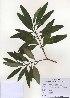 (Edgeworthia - PDBK2010-0883)  @11 [ ] Copyright (2010) Ki Joong Kim Korea University Herbarium (KUS)