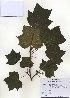 (Liriodendron - PDBK2010-0895)  @11 [ ] Copyright (2010) Ki Joong Kim Korea University Herbarium (KUS)