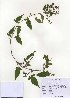 (Solanum lyratum - PDBK2010-0904)  @11 [ ] Copyright (2010) Ki Joong Kim Korea University Herbarium (KUS)