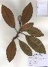 ( - PDBK2010-0942)  @11 [ ] Copyright (2010) Ki Joong Kim Korea University Herbarium (KUS)