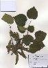 (Cercis - PDBK2010-0957)  @11 [ ] Copyright (2010) Ki Joong Kim Korea University Herbarium (KUS)