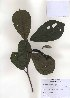 (Magnolia kobus - PDBK2010-0961)  @11 [ ] Copyright (2010) Ki Joong Kim Korea University Herbarium (KUS)