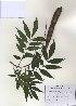(Wisteria - PDBK2010-0969)  @11 [ ] Copyright (2010) Ki Joong Kim Korea University Herbarium (KUS)
