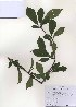 (Prunus salicina - PDBK2010-0975)  @11 [ ] Copyright (2010) Ki Joong Kim Korea University Herbarium (KUS)