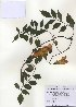 (Campsis - PDBK2010-0996)  @11 [ ] Copyright (2010) Ki Joong Kim Korea University Herbarium (KUS)
