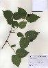 ( - PDBK2010-1003)  @11 [ ] Copyright (2010) Ki Joong Kim Korea University Herbarium (KUS)