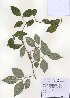 (Elaeagnus glabra - PDBK2010-1010)  @11 [ ] Copyright (2010) Ki Joong Kim Korea University Herbarium (KUS)