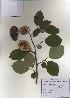 (Chaenomeles - PDBK2010-1027)  @11 [ ] Copyright (2010) Ki Joong Kim Korea University Herbarium (KUS)